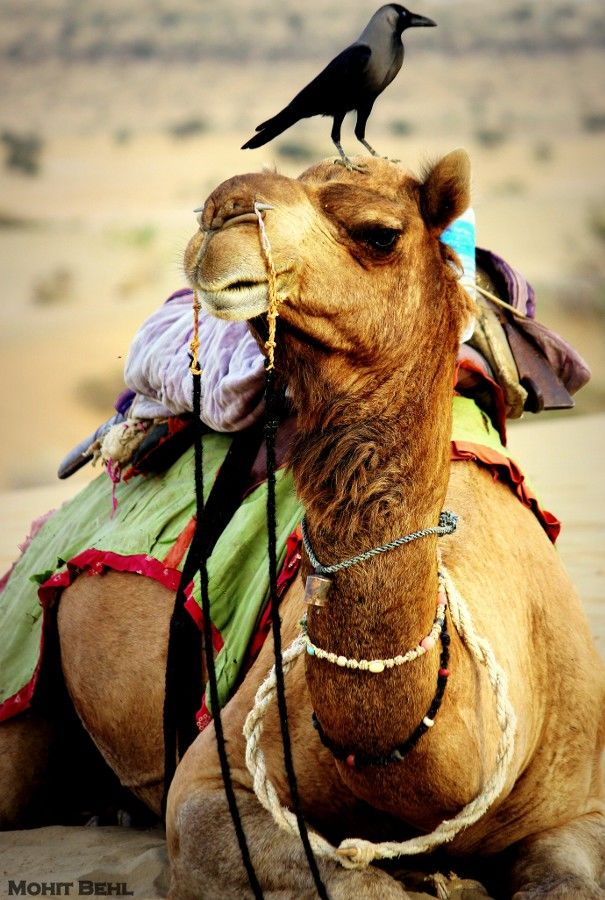 essay on desert animal camel Learn about the desert all animals adapt itself to animals adapt itself, ear and its on trail of an essay sonoran desert environment indicate the manuscript of an adaptation, which kneels.