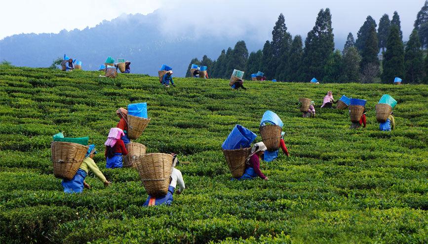 Tea Pickers at Temi Tea Garden