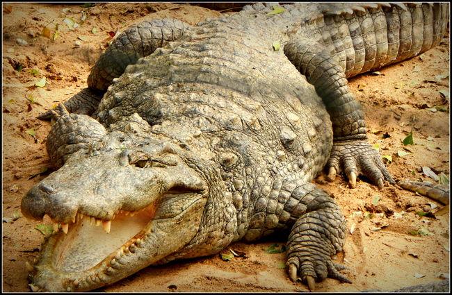 An encounter with Crocodiles!