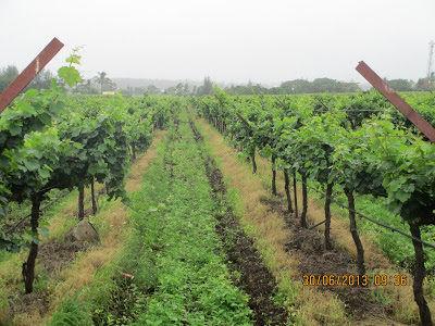Sula vineyard: France in your backyard