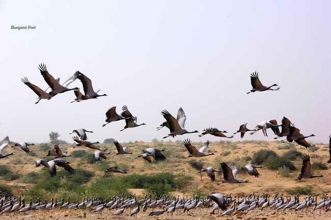 Khichan: A Village of Migrating Birds