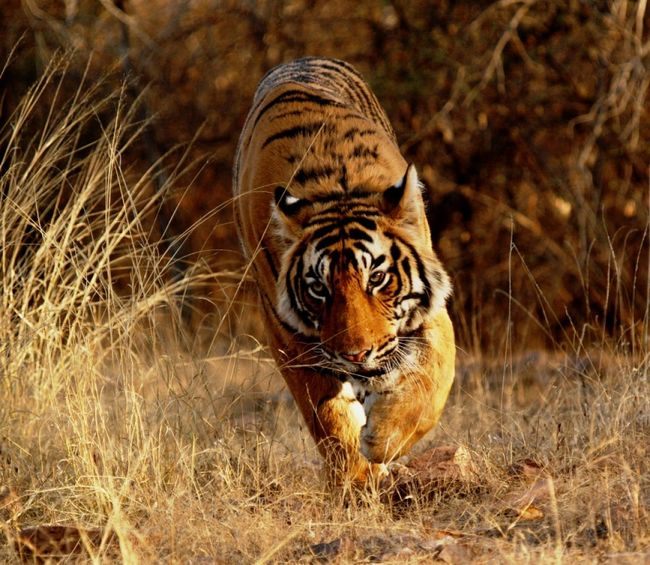 8 Best Places To Go On A Tiger Safari In India!