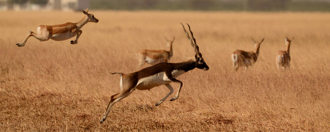 Black bucks at Velavadar, Gujarat