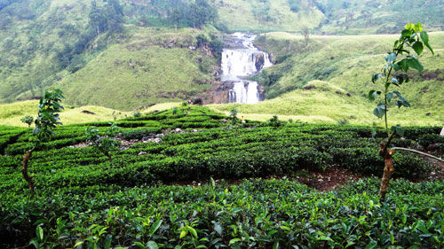 The Tea Lover's Wonderland: Nuwara Eliya