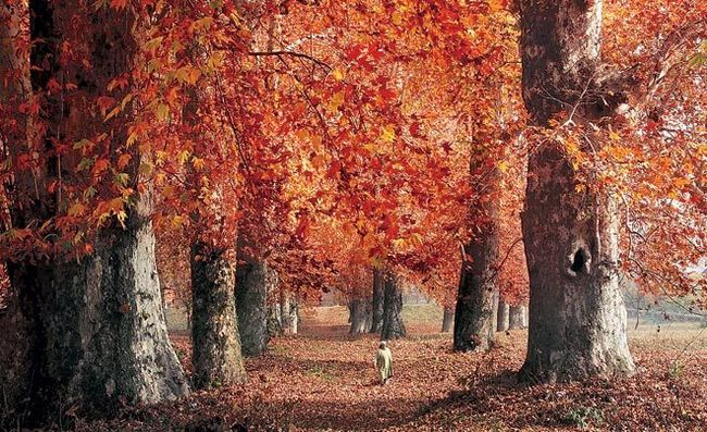 The Chinar legacy