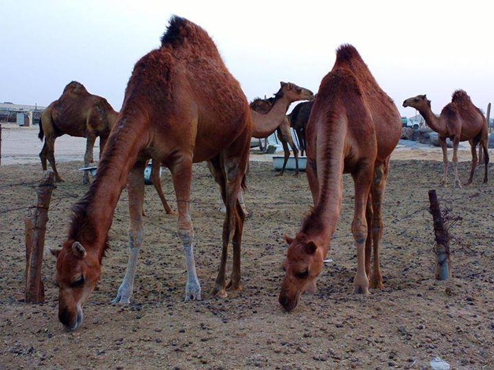 Camel milk anybody?