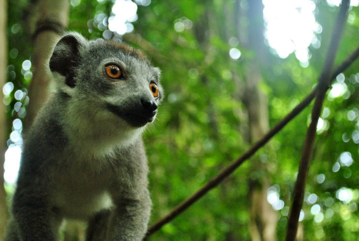 Photos of Lemur 1/5 by Jessie Beck