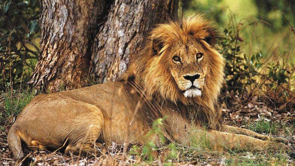Photos of Lion at Khwai River Lodge 1/8 by Amanda