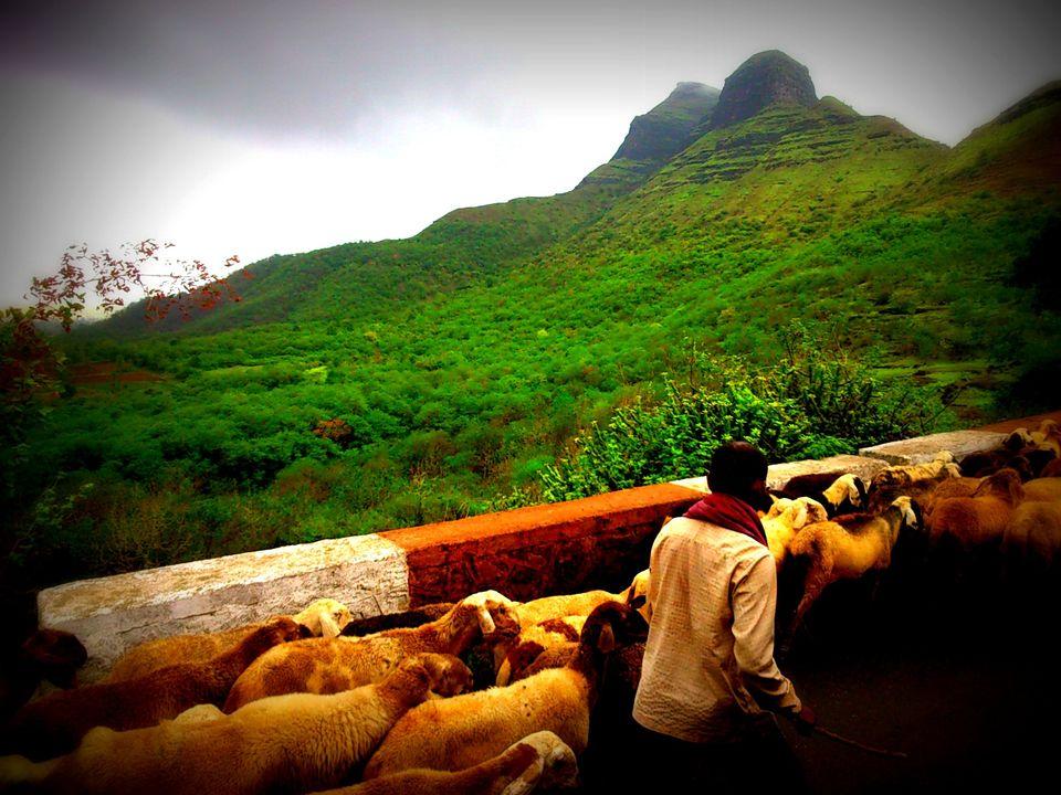 Photos of Sheeps marching towards Serene Green lushes  1/10 by nishant shrivastava