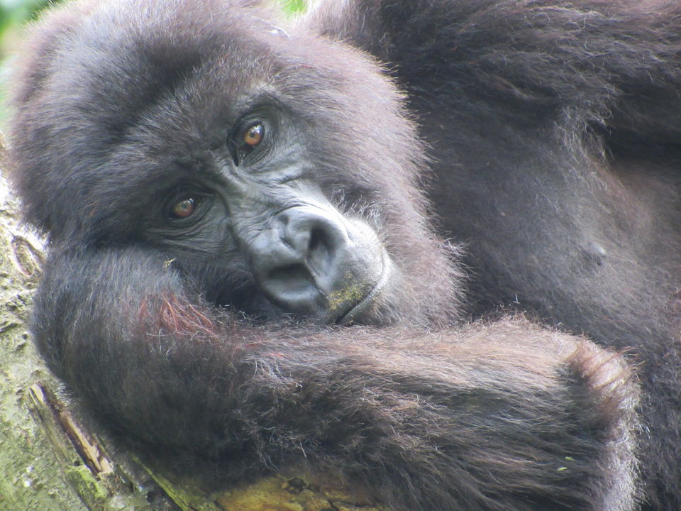 Only 800 Mountain Gorillas Are Left In The World... And This Is Where You Can Trek To See Them
