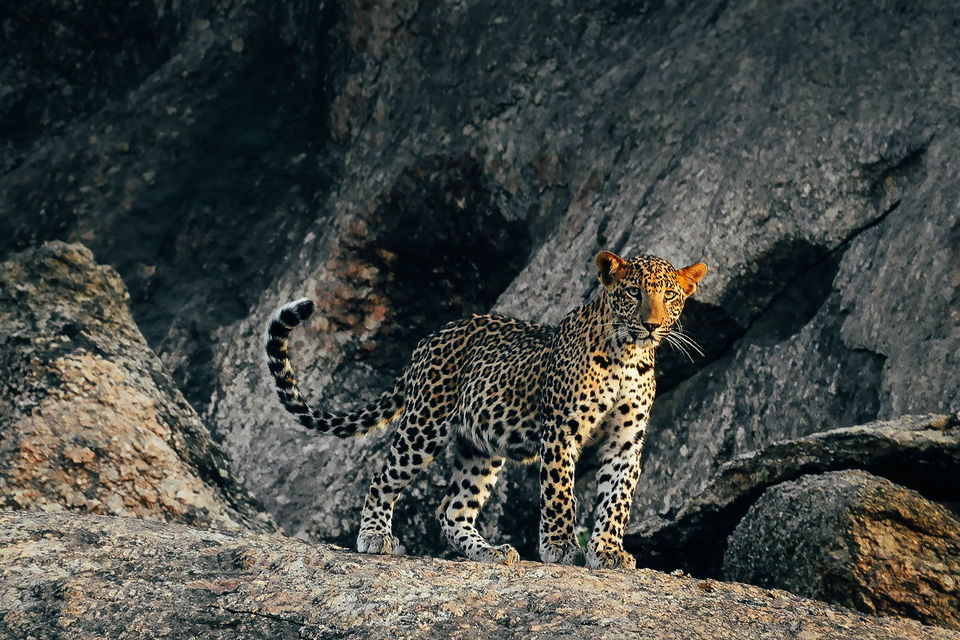 The Jawai Hills Have Leopard Eyes