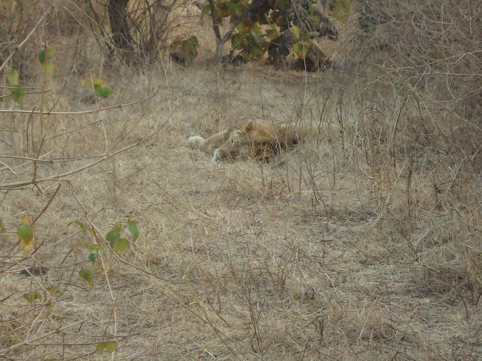 Photos of Gir National Park : The Pride Of Gujarat 1/1 by Aarush Tandon