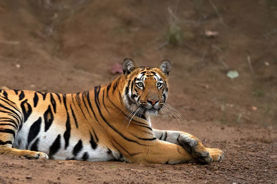 a trip to tadoba tiger reserve Best time to visit tadoba national park  the safari timings in tadoba tiger reserve are as follows:  wildlife and leisure travel in india.