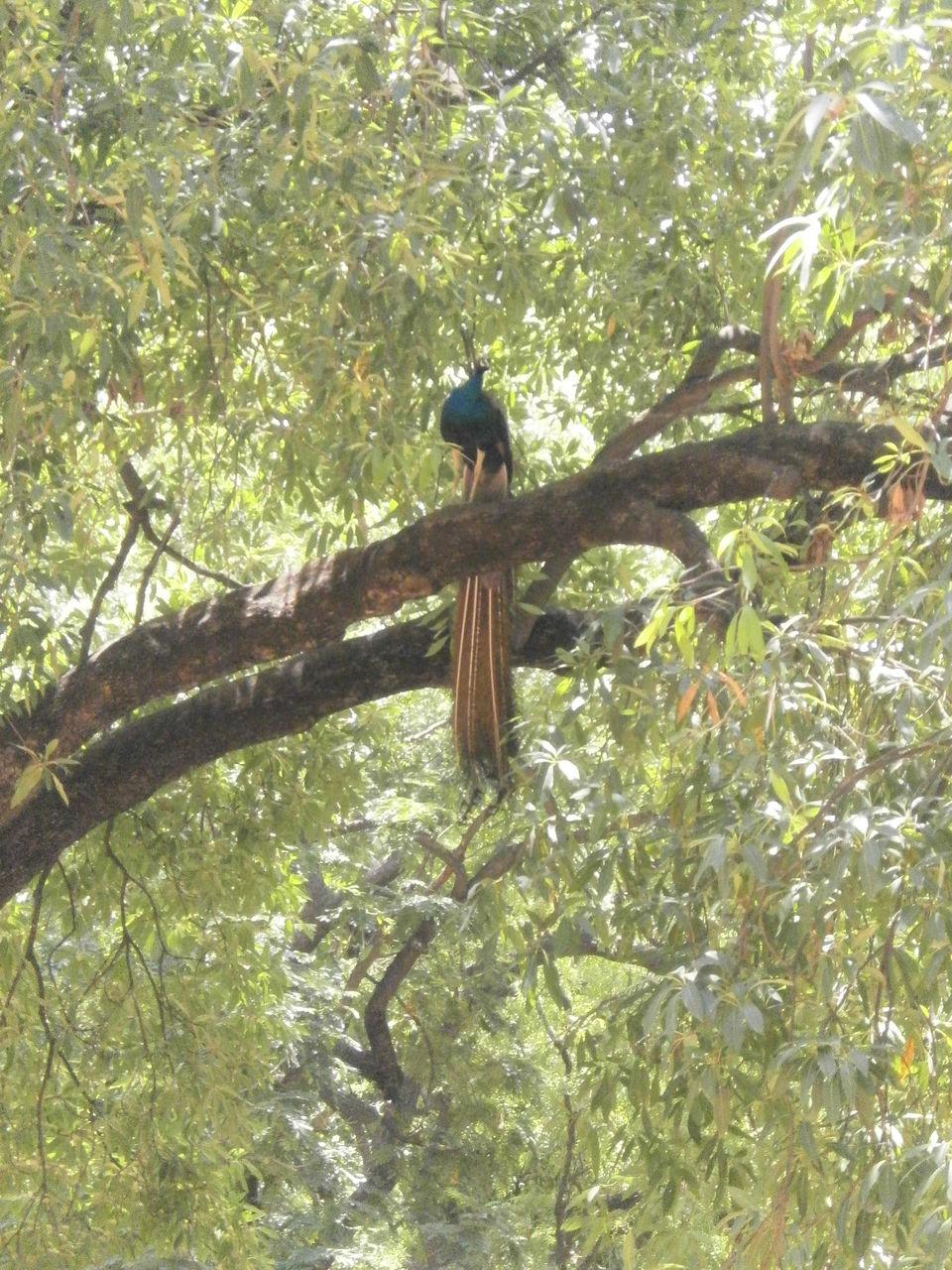 Photos of The Peacock.. 1/12 by sreowshi sinha