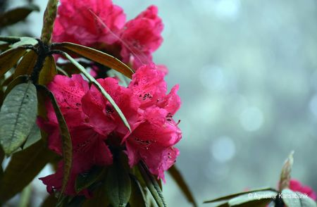 This One-day Trek Through Sikkim's Rhododendron Sanctuary Is Full Of Surprises