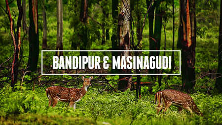 Bandipur & Masinagudi – The Reserves of Two States and Best Weekend Getaway
