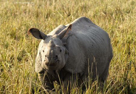 Pobitora Wildlife Sanctuary: The Perfect Place To Spot The Greater Indian One-Horned Rhinoceros