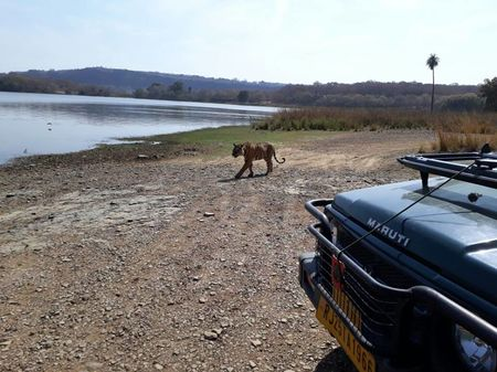How to Spot a Tiger in Ranthambore National Park?
