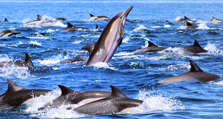 In the sea with Dolphins - Mirissa, South Sri Lanka