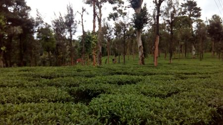 A Night At A Tea Estate (Priyadarshini Tea Estate, Wayanad, Kerala)