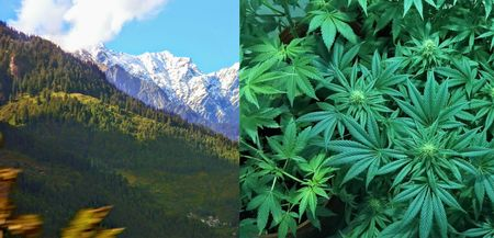 Himachal Pradesh Might Legalize The Cultivation Of Marijuana