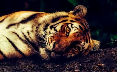 Best Indian Lion And Tigers Tour Packages