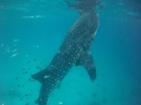 A Whale of a Time! Cebu, Philippines