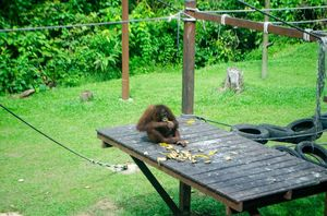 Sepilok Orangutan Rehabilitation Centre 1/undefined by Tripoto