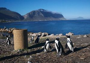 Jackass Penguin Colony 1/1 by Tripoto