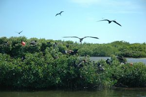 Frigate Bird Sanctuary 1/5 by Tripoto