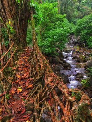 Living Root bridge at Dawki