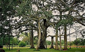 6 Biggest and Oldest Banyan trees in India for the Ultimate Nature lover