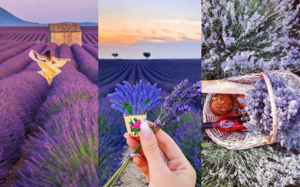 My Lavender Trail In France