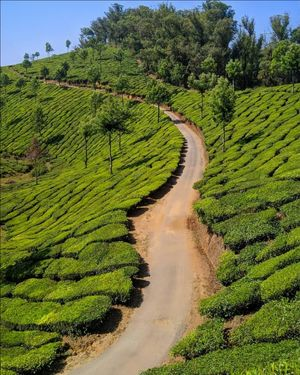 Lush Green Tea Plantations, Munnar