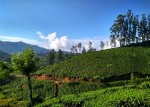 Tea Gardens of Munnar | Kerala | Explore as you Run