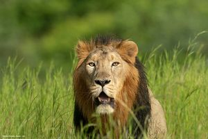 House of Asiatic Lion-Gir National Park Wildlife Sanctury