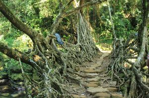 Jingmaham Living Root Bridge 1/undefined by Tripoto