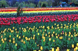 Indira Gandhi Tulip Garden 1/undefined by Tripoto