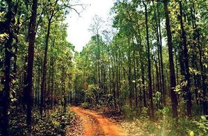 Looking For A Digital Detox In A Forest?-The Largest Trees In Asia Grow In This Unexplored Place
