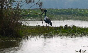 Harike Bird Sanctuary 1/2 by Tripoto