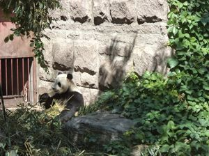 When I got to see a Panda at the Beijing Zoo!