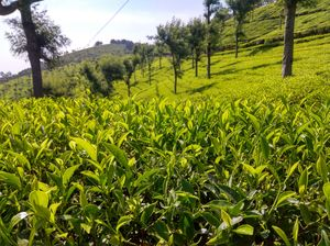 Weekend Escape to coonoor: A trekking through tea Estate and tribal villages in coonoor