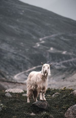 The most common animal of Himalayas