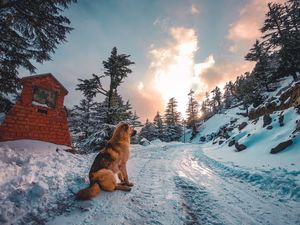 The dog of Himalayas