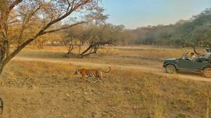 With a count of 67 tigers Ranthambhore is an amazing place for tiger lovers to be