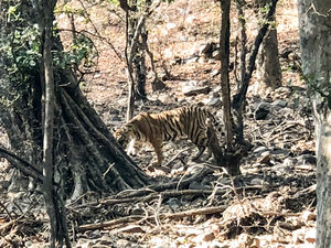 Wildlife Safari in Ranthambore
