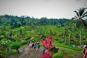 Beautiful scenes of Rice Terrace Involving the Subak