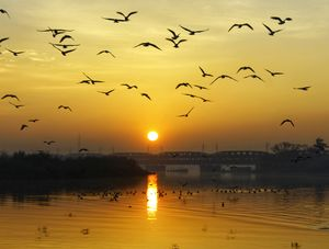 Sunrise with migratory birds at Yamuna Ghat,Delhi.