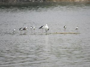 Rajasthan's Sambhar Lake Records 18,000 Deaths in 10 Days, Ranks among Worst Wetlands in India!