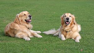 Dream Job Alert: You can Earn Rs 29 Lakh to Take Care of 2 Golden Retrievers!